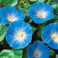 Blomman för dagen MORNING GLORY Heavenly Blue-Frö till Blomman för dagen
