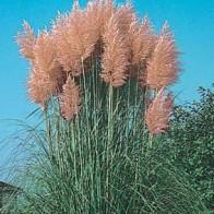 Pampasgräs GRASS Pampas Pink-Frö till Pampasgräs