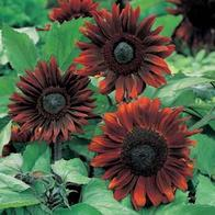 Solros SUNFLOWER Black Magic F1-Frö till Solros