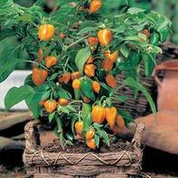 Paprika PEPPER (Sweet) Orange Baby#-Frö till Paprika