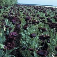 Opiumvallmo   POPPY Paeony Black-Frö till Opiumvallmo
