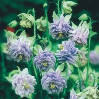 Akleja AQUILEGIA Tower Light Blue-Frö till Akleja