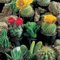 Kaktus CACTUS Superfine Mixed-Frö till Kaktus