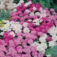 Iberis CANDYTUFT Fairy Mixed-Frö till Iberis