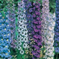 Riddarsporre DELPHINIUM Pacific Giants Mixed-Frö till Riddarsporre