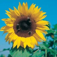 Solros SUNFLOWER Giant Single-Frö till Solros
