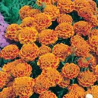 Sammetstagetes MARIGOLD (French) Honeycomb-Frö till Sammetstagetes