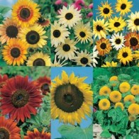 Solros SUNFLOWERS COLLECTION, Frö till Solros