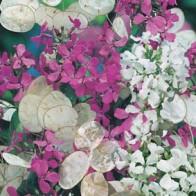 Månviol HONESTY Purple & White#, Frö till Månviol