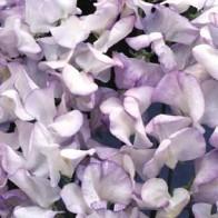 Luktärt SWEET PEA Lilac Ripple#, Frö till Luktärt