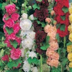 Stockros HOLLYHOCK Double Mixed, Frö till Stockros