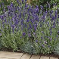 Lavendel LAVENDER Ellegance Purple-Frö till Lavendel