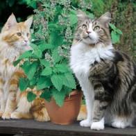 Kattmynta CATMINT Catnip-Frö till Kattmynta