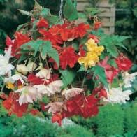 Begonia BEGONIA Basket Beauties-Frö till Begonia