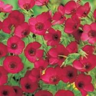 Blomsterlin FLAX Scarlet - Linum, Frö till Blomsterlin