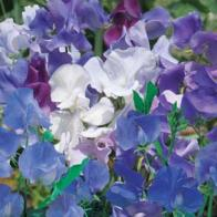 Luktärt SWEET PEA Best of The Blues-Frö till Luktärt