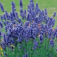 Lavendel LAVENDER Hidcote Blue-Frö till Lavendel