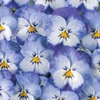 Pensé VIOLA Floral Power Stone Washe-Frö till Pensé