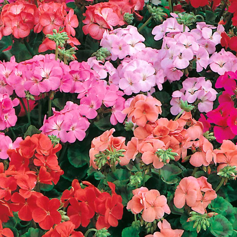 Zonalpelargon GERANIUM Special Multiflora Mixed F1-Frö till Zonalpelargon blandade färger
