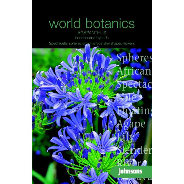 Afrikansk Lilja AGAPANTHUS Headbourne Hybrids#, Frö till Afrikansk Lilja