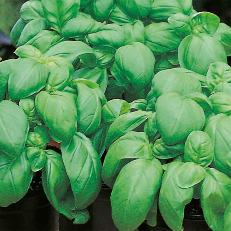 Basilika BASIL Sweet-Frö till Basilika