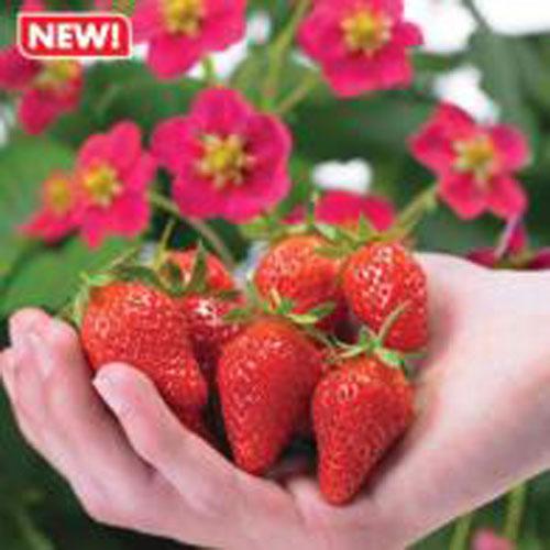 Jordgubbar Strawberry Toscana, Frö till Jordgubbar