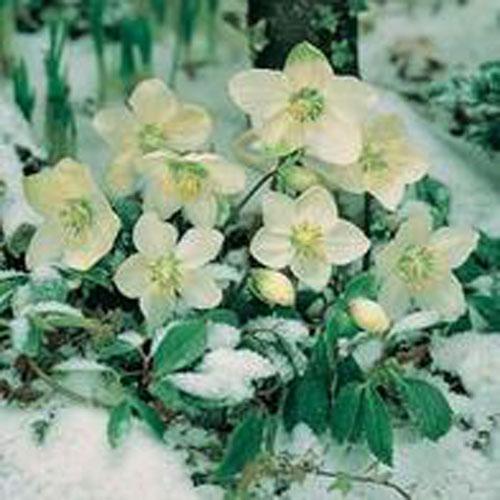 Julros HELLEBORE Christmas Rose-Frö till Julros