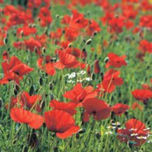 Kornvallmo Vilda blommor - Poppy#-Frö till Kornvallmo