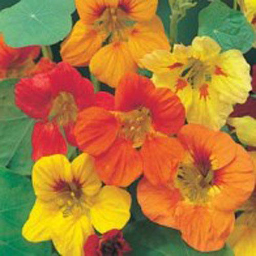 Krasse NASTURTIUM Trailing Single Mixed-Frö till Krasse