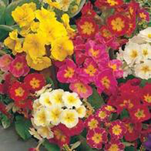 Primula POLYANTHUS Large Flowered Mixed-Frö till Primula