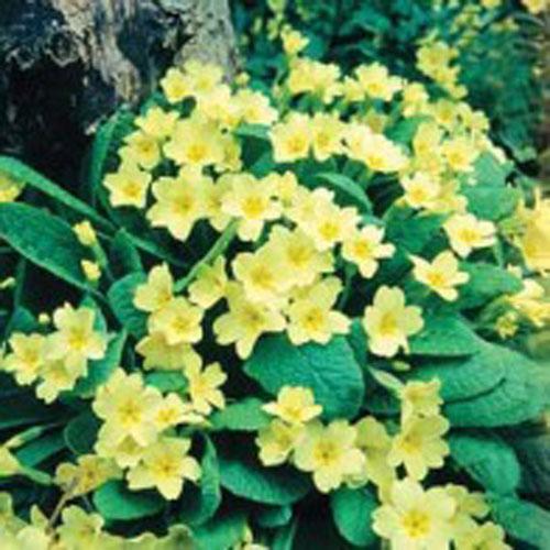 Primula Vilda blommor - Primrose-Frö till Primula