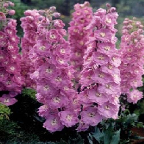 Riddarsporre Delphinium Rosy Future F2-Frö till Riddarsporre