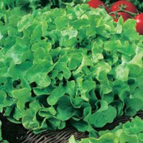 Sallad LETTUCE Salad Bowl-Frö till Sallad