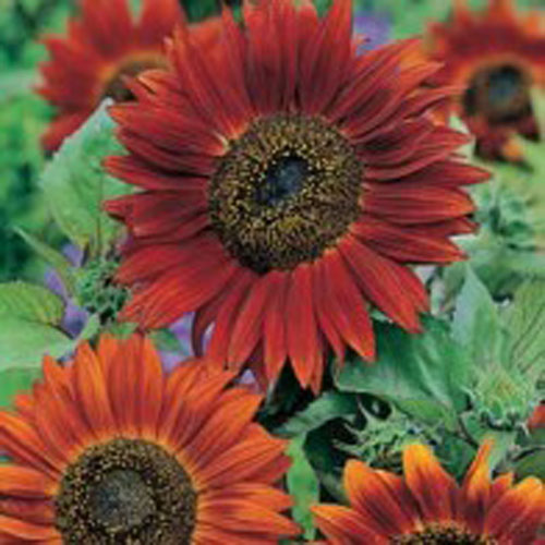 Solros SUNFLOWER Red Sun-Frö till Solros