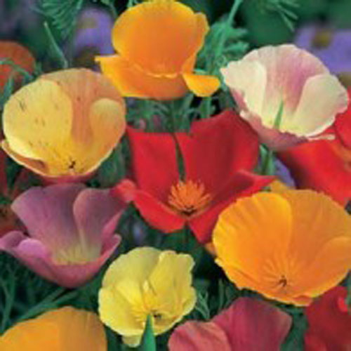 Sömntuta CALIFORNIAN POPPY Single Mixed, Frö till Sömntuta