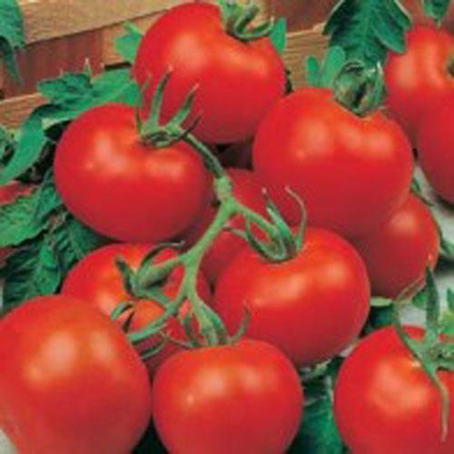 Tomat TOMATO Outdoor Girl-Frö till Tomat