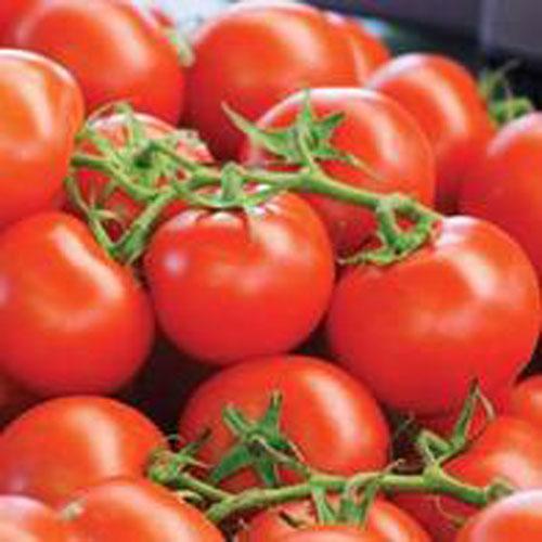 Tomat TOMATO Scarlatto F1-Frö till Tomat