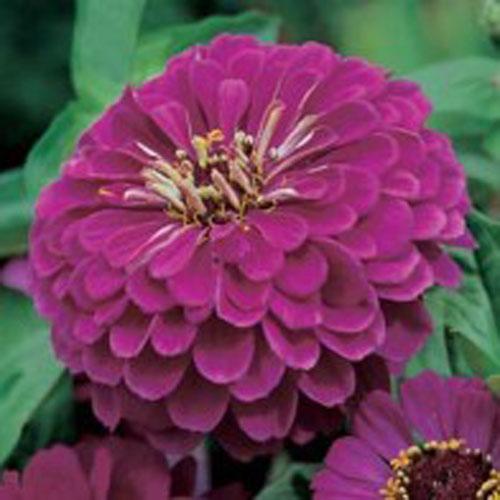 Zinnia ZINNIA Purple Prince-Frö till Zinnia