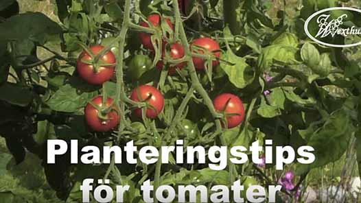 Planteringstips för tomater
