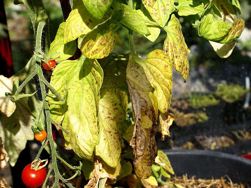 tomatplanta-med-magnesium-och-kaliumbrist.jpg