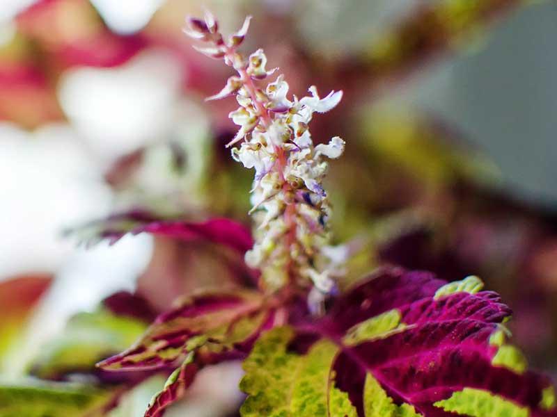 Palettblad - ska sticklingens blomma bort?