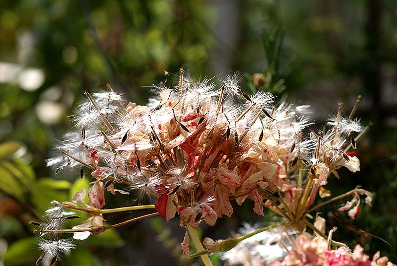 Mogna fröer på zonalpelargon
