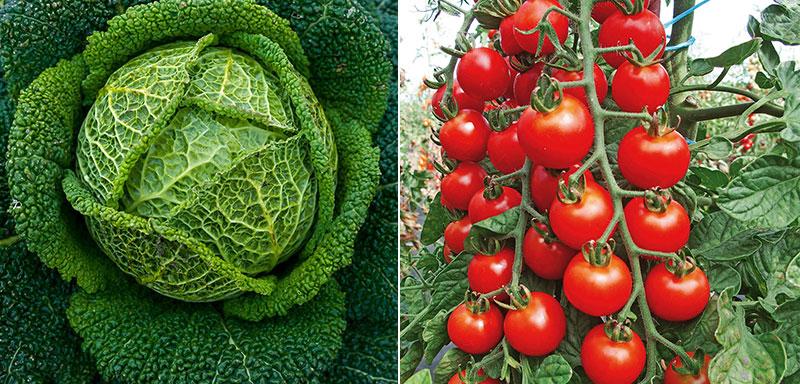 Savojkål och tomater som fått bokashinäring