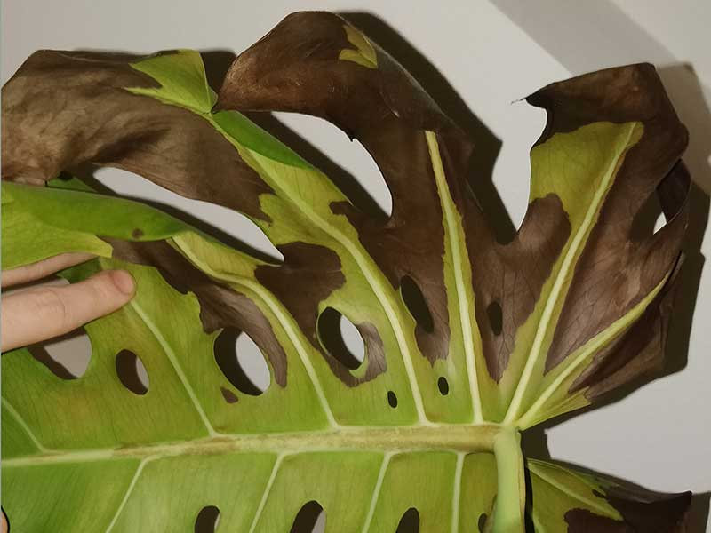 Monstera – bruna blad