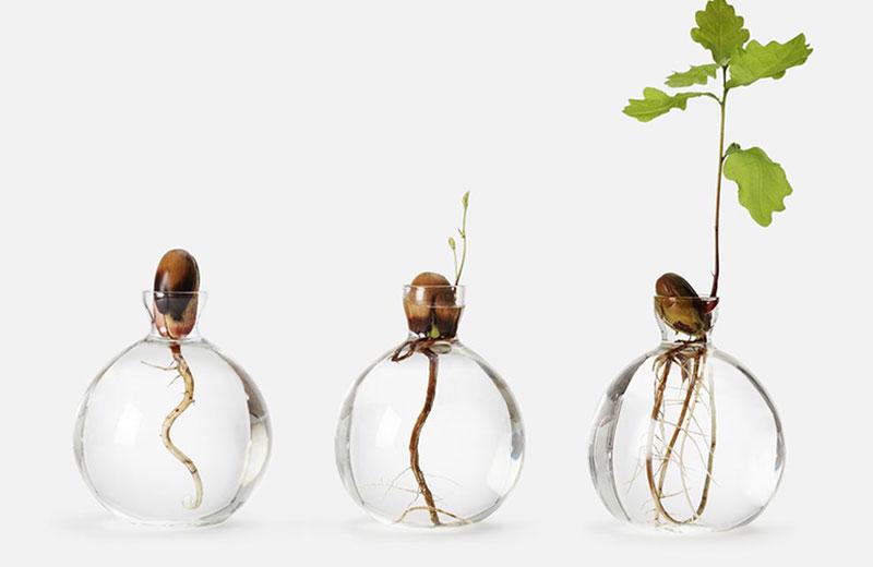drivning av ekollon i glasvas i olika stadier