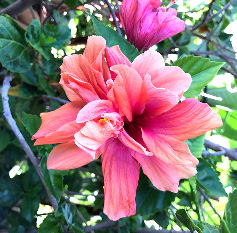 hibiscus-i-kruka-utomhus.jpg