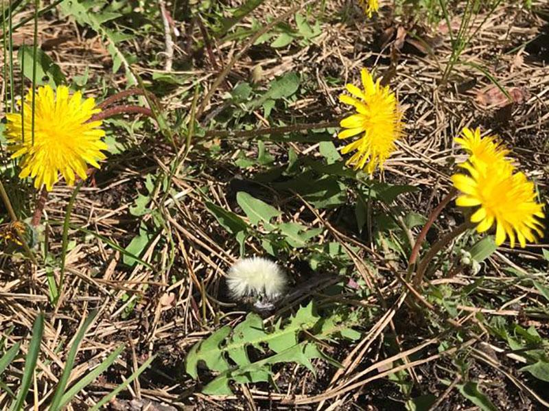 blomma-och-froboll-av-maskros.jpg
