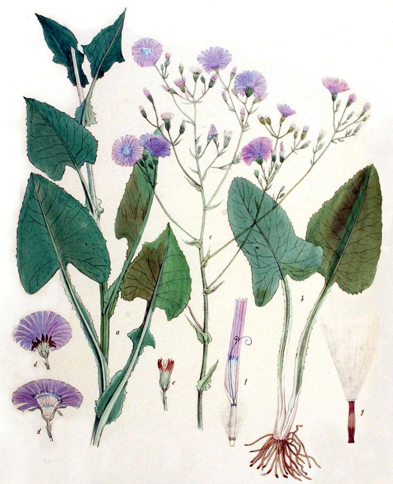 Ogräs parksallat med blomma och rotsystem