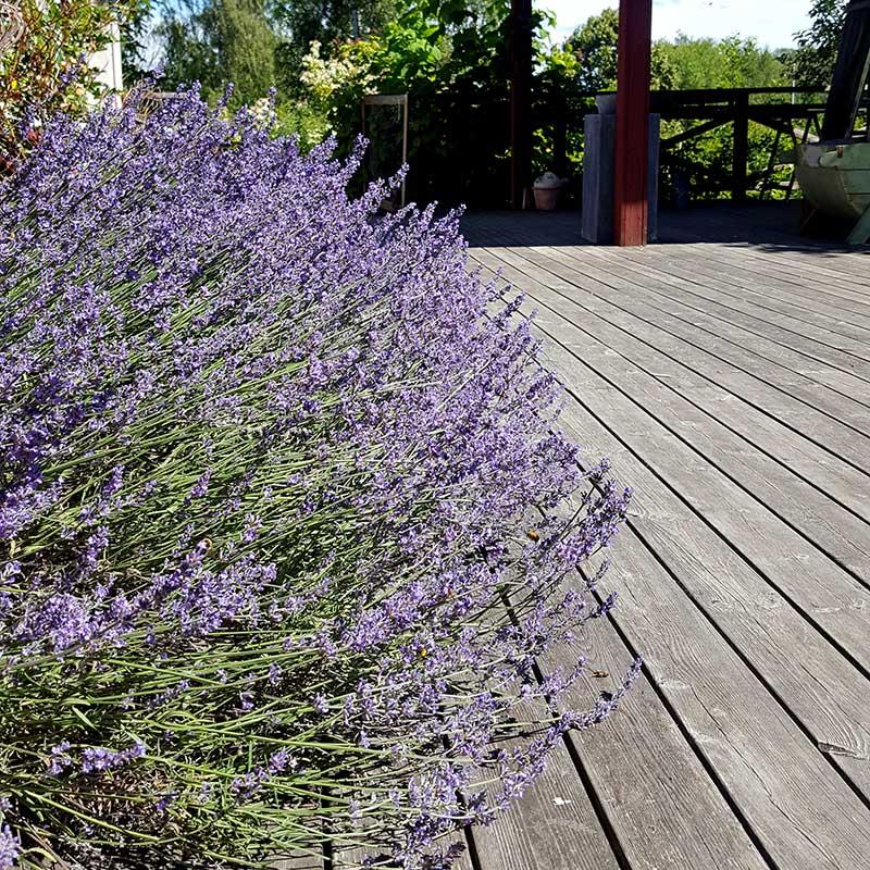 Lavendel i blom beskärs på vår eller höst