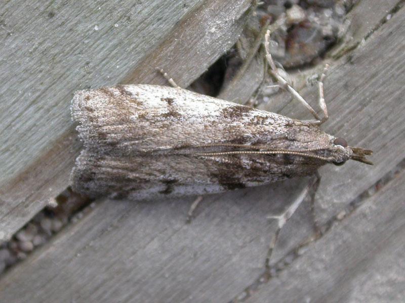 Zophodia-grossulariella-krusbarsmott.jpg
